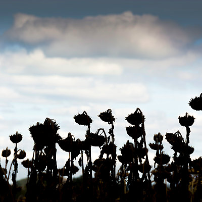 Field with sunflowers against the light - p813m1481224 by B.Jaubert