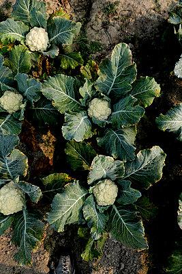 Cauliflower - p817m1585735 by Daniel K Schweitzer