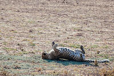 Leopard - p1065m885910 von KNSY Bande