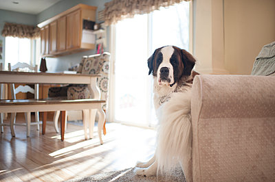 Portrait of Saint Bernard sitting on chair at home - p1166m1547099 by Cavan Social
