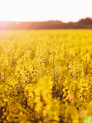 Yellow flowers - p312m2078827 by Peter Westrup