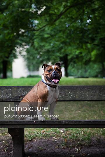 Hund wartet auf Holzbank - p045m1589562 von Jasmin Sander