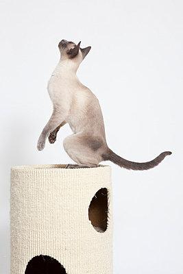Siamkatze in Bewegung - p7750145 von angela pfeiffer
