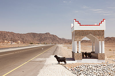 Goats waiting for the bus - p834m885798 by Jakob Börner