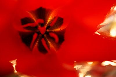 Red tulip - p1620m2270129 by Cornelia Greil