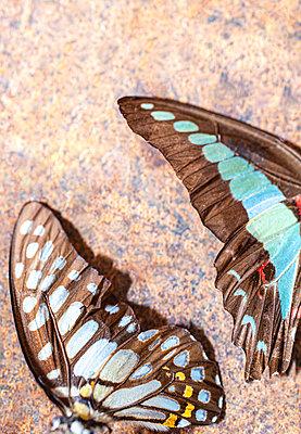 Two butterflies - p971m2135238 by Reilika Landen