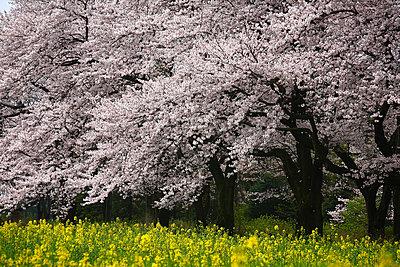 Cherry blossoms, Tokyo Prefecture, Honshu, Japan - p5149017f by Masahiro Nakano