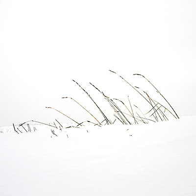 Grass in a snow field. - p813m1000138 by B.Jaubert