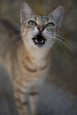 Tabby, exotic cat looking up, meowing. - p1433m2008052 by Wolf Kettler