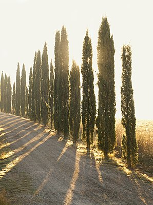 A private driveway to a villa, lined with the iconic Cypress trees, in Tuscany near Montalcino, Italy - p429m1148789 by Philip Lee Harvey
