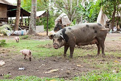 Ferkel, Kampot, Kambodscha - p842m1030663 von Renée Del Missier