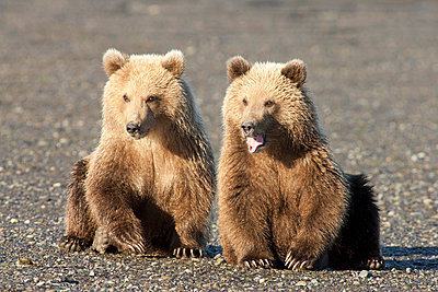 Grizzly Bear cubs - p884m864131 by Matthias Breiter