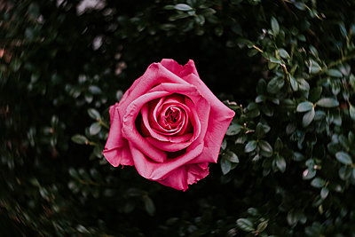 Overhead close-up of pink rose growing on plant - p1166m1473589 by Cavan Images