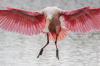 A roseate spoonbill coming in for a landing - p1166m2193807 by Cavan Images