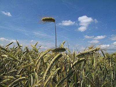 Harvest - p7310007 by Volker Ramspott