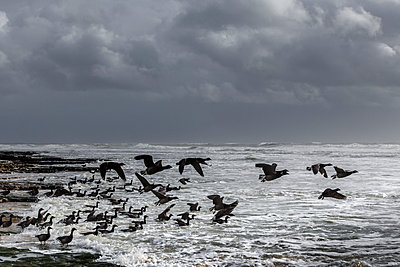 Migratory birds on the coast  - p910m1159384 by Philippe Lesprit