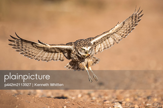 Burrowing Owl (Athene cunicularia) about to land at it's burrow with partially eaten grasshopper in its beak; Casa Grande, Arizona, United States of America - p442m2113927 by Kenneth Whitten