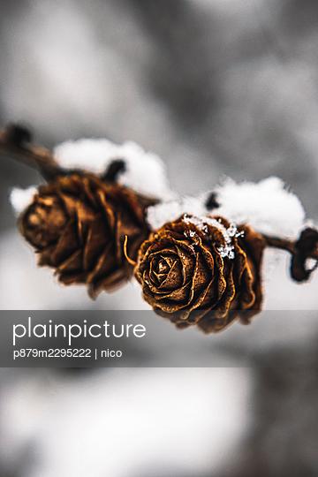 Snow-coverd pinecones - p879m2295222 by nico