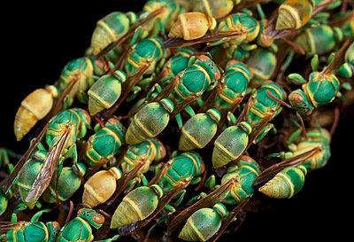 Paper Wasp colony, Ankarafantsika National Park, Madagascar - p884m1510187 by Paul Bertner