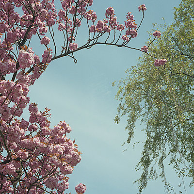 Blossoming almond - p444m924683 by Müggenburg