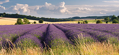 Lavender field in flower, Snowshill, Cotswolds, England, United Kingdom, Europe - p871m993813 by Adam Burton