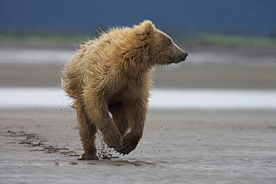 Grizzly Bear juvenile running from adult female - p8844457 by Matthias Breiter