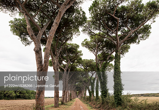 Pinienbäume - p1222m1538266 von Jérome Gerull