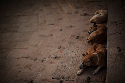 Three dogs sleeping - p1007m1144385 by Tilby Vattard