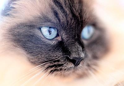Porträt eines Katers mit blauen Augen - p1258m1538793 von Peter Hamel