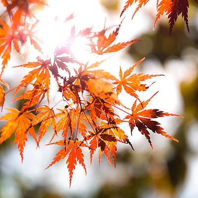 Back-Lit Orange Japanese Maple Tree Leaves - p694m2097230 by Lori Adams