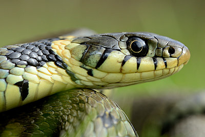 Portrait of grass snake - p300m1023513f by Mark Johnson