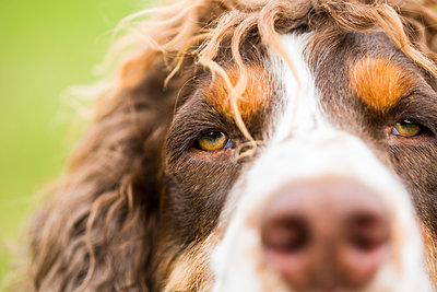 English Springer Spaniel, close-up - p300m2029913 by Roman Märzinger