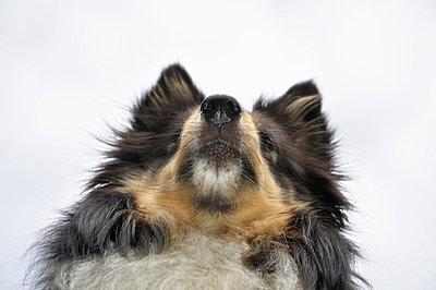Shetland sheepdog - p322m697223 by Karoliina Norontaus