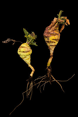 Stem cabbage - p470m830635 by Ingrid Michel