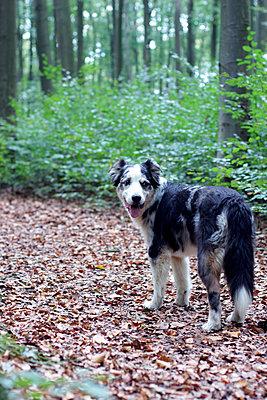 Australian Shepherd im Wald - p879m1196042 von nico