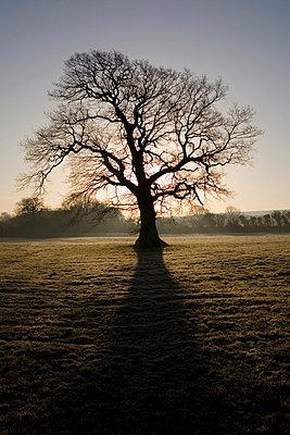 Oak tree in winter - p9248910f by Image Source