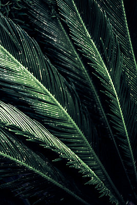 Close-up of leaves of a sago palm, Cycas Revoluta - p300m2102780 von Dirk Wüstenhagen