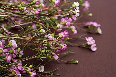 Gypsophila repens Rosea - p3018396f by Jane