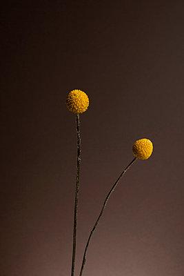Two Billybutton Daisies (Craspedia) against a gray background - p301m799638f by Halfdark