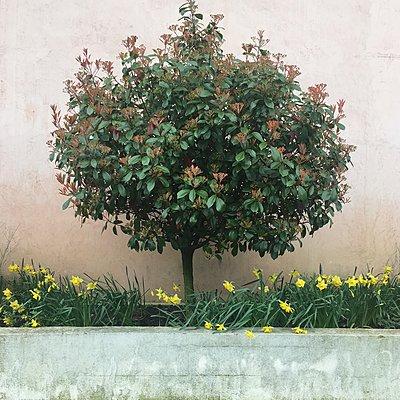 Narzissen und kleiner Baum - p1401m2164479 von Jens Goldbeck