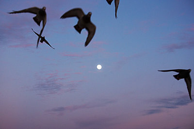Birds in the evening sky - p1167m2269926 by Maria Schiffer