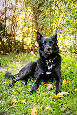 Portait of black dog lying on meadow - p300m2081046 von Julia Otto