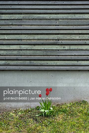 Red tulips in front of barrier - p1418m2184993 by Jan Håkan Dahlström
