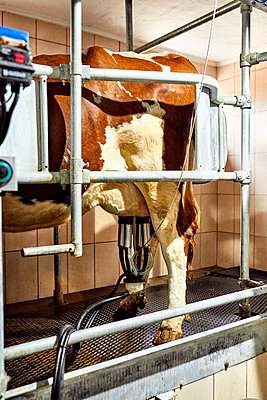 Cattle with milking machine standing in dairy farm - p300m2199648 by Zeljko Dangubic