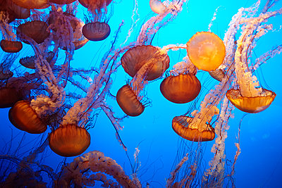 Swarm of jellyfish, Pacific Ocean, California, USA - p506m2183575 by Julia Franklin Briggs