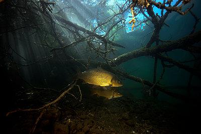 Austria, Carinthia, Common carp in Weissensee - p300m1460221 by Gerald Nowak