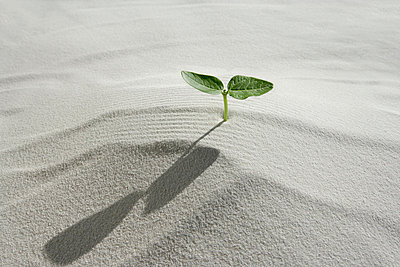 Seedling on sand, close up - p5143273f by KOJI KITAGAWA