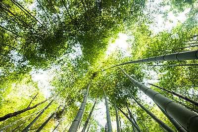 Low angle view of a bamboo forests with lush green canopy. - p1100m2164771 by Mint Images