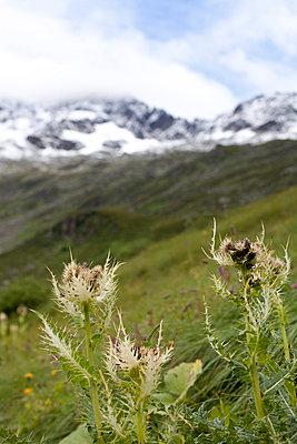 Close-up of flowers in alpine landscape - p3882940 by Leyens