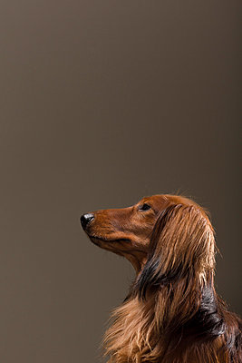 Long-haired Dachshund III - p1076m859342 by TOBSN